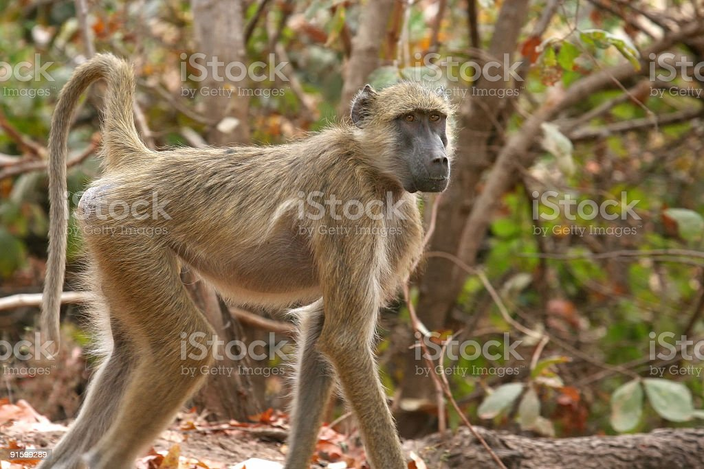 African Primate royalty-free stock photo