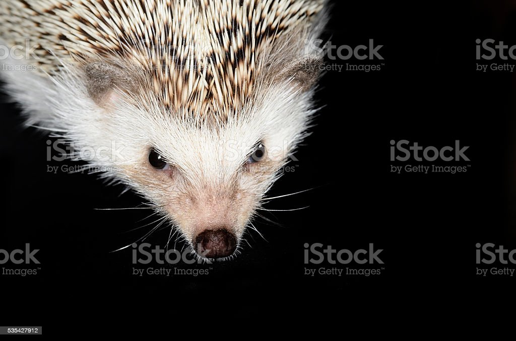 african pygmy hedgehog stock photo