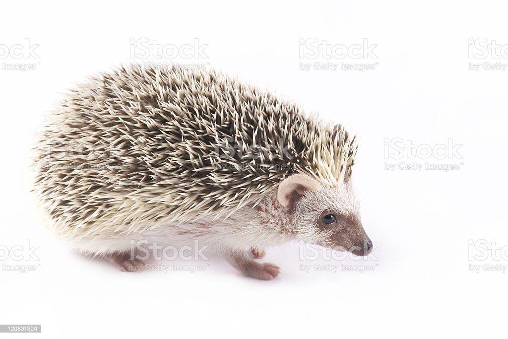 African Pygmy Hedgehogs (Atelerix albiventris) stock photo