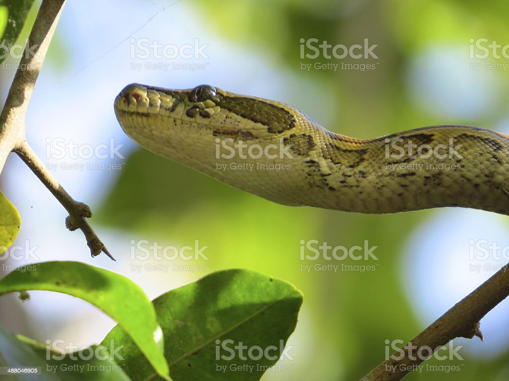 African python stock photo