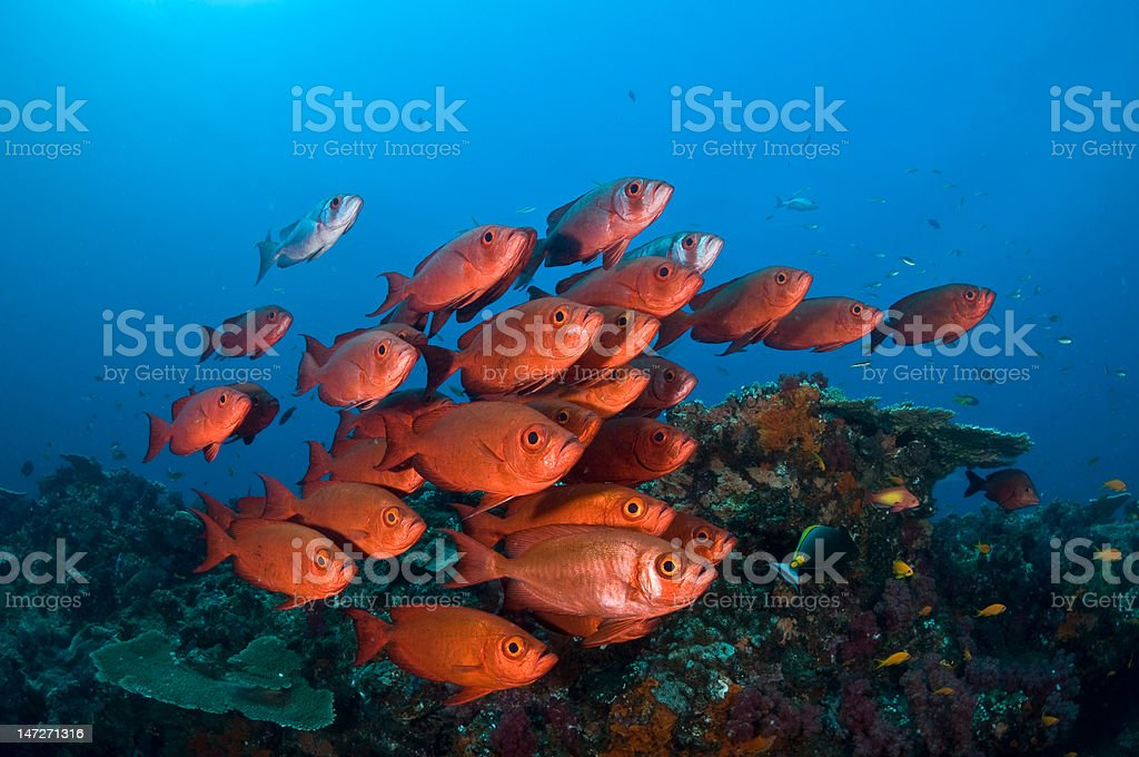 African Red stock photo