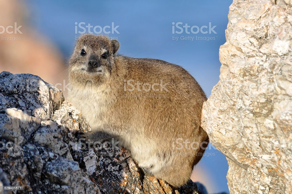 African Rock Hyrax stock photo