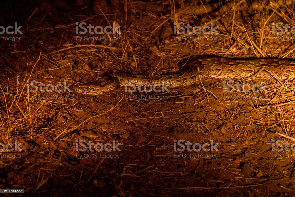 African rock python in the spotlight. stock photo