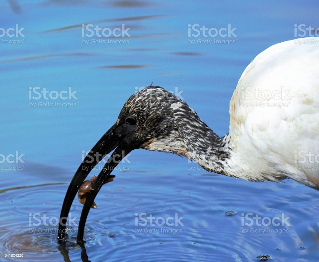 African Sacred Ibis - Eating Crab stock photo