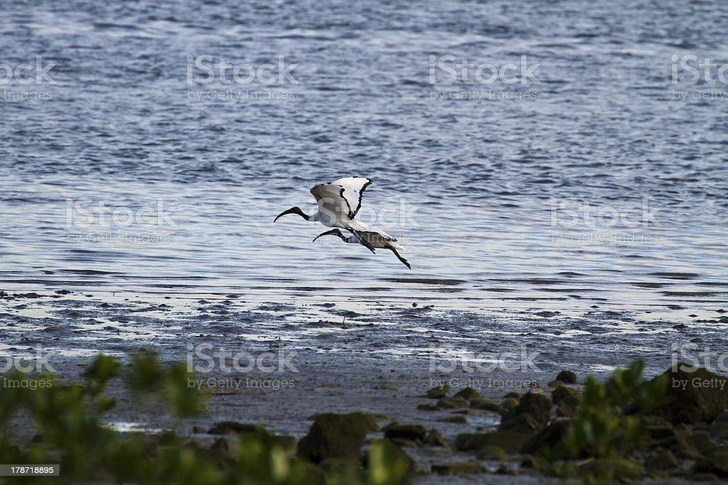 African Sacred Ibis royalty-free stock photo