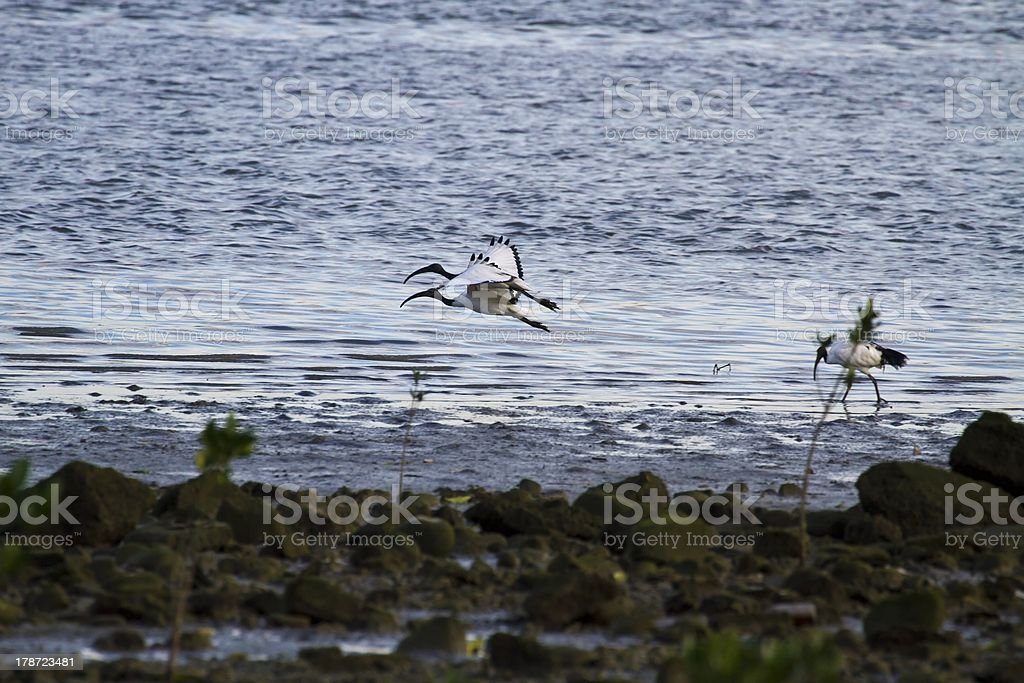 African Sacred Ibis royalty-free stock photo