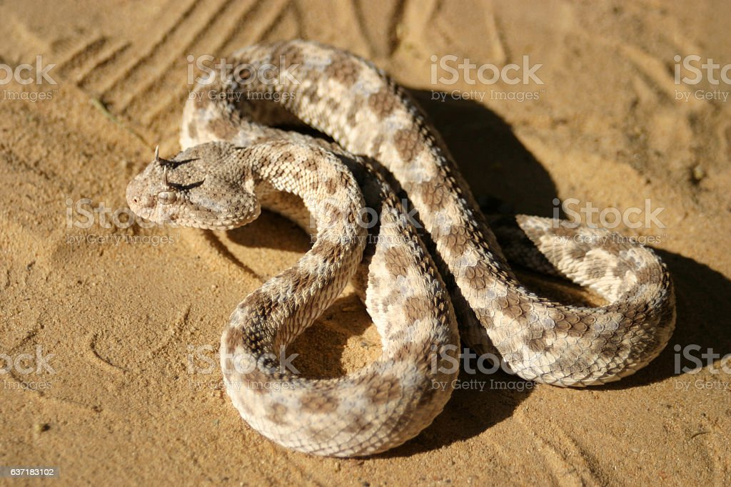 African saharan horned viper in the sand stock photo