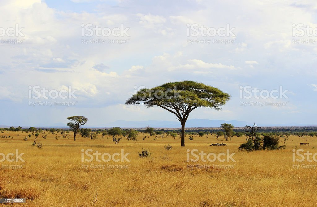 African savannah in Kenya stock photo