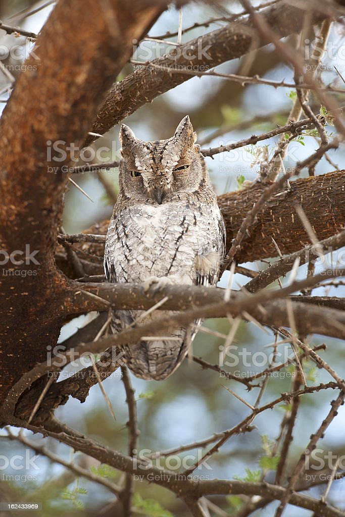 African Scops Owl in a tree, wildlife shot, Tanzania royalty-free stock photo