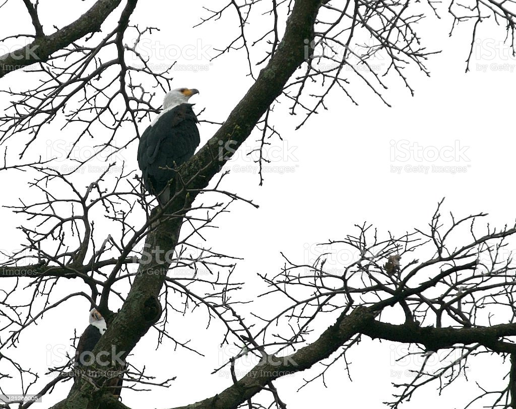 african sea eagle in a treetop stock photo