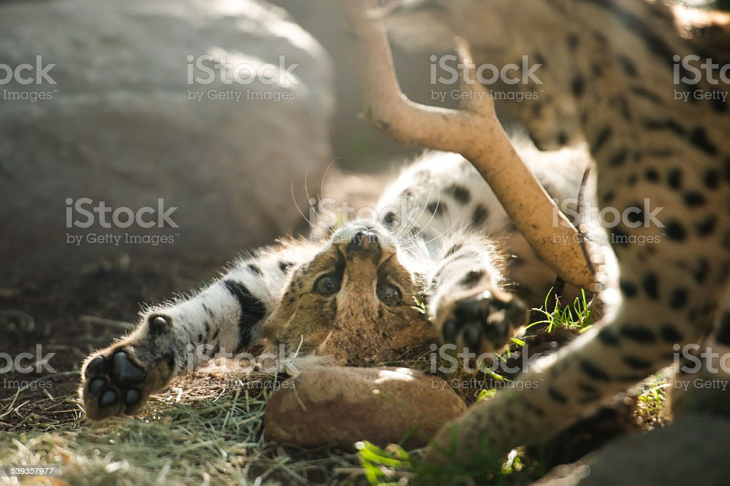 African Serval Cubs stock photo