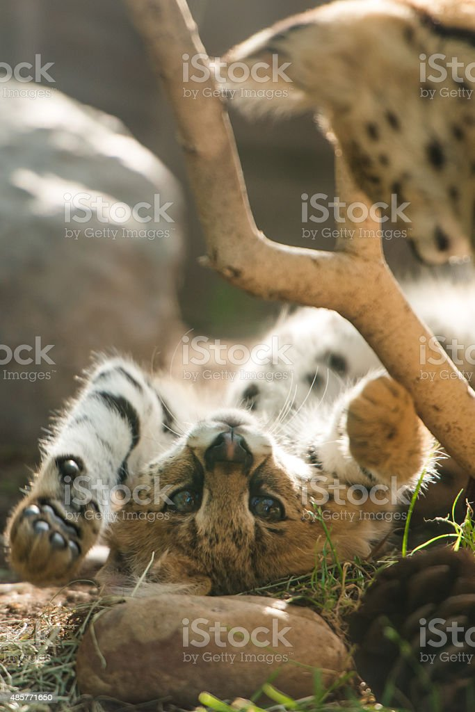 African Serval stock photo