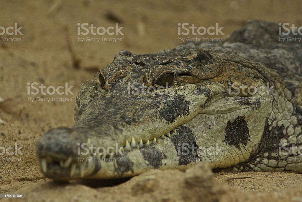African Slender Snouted Crocodile stock photo