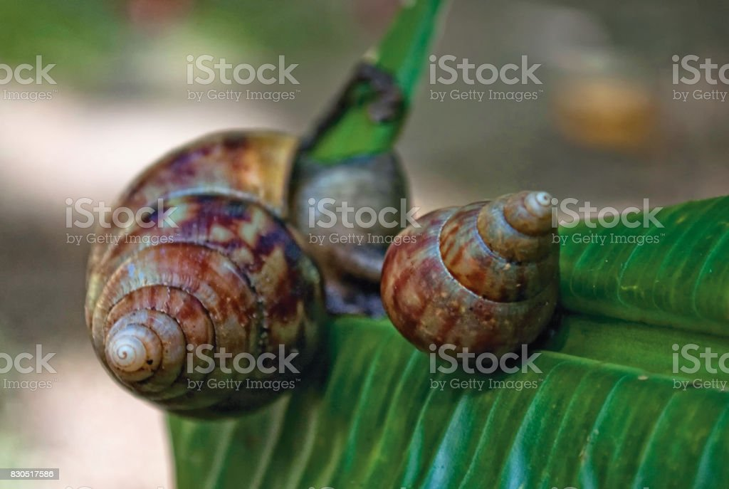 African snails, Barbados stock photo