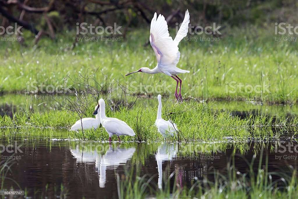 African spoonbill flying stock photo