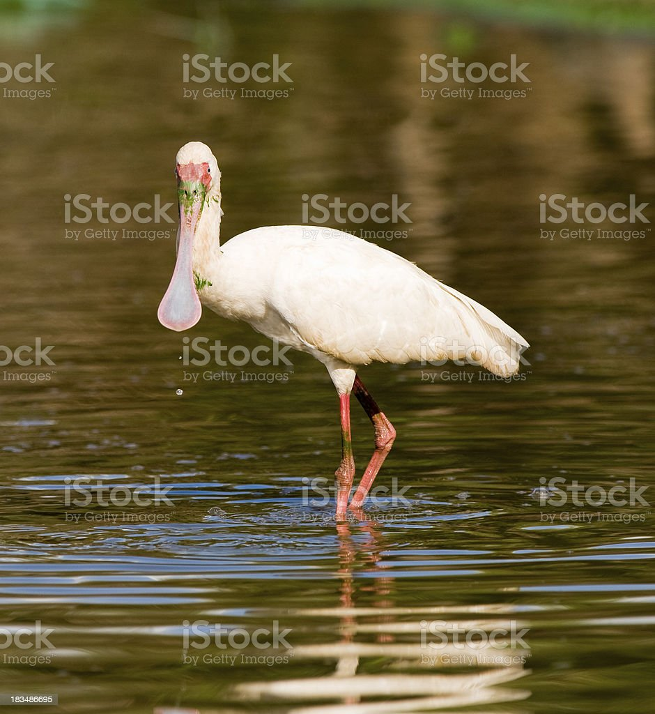 African Spoonbill royalty-free stock photo