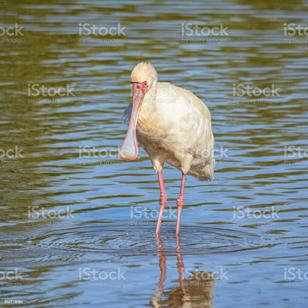African Spoonbill stock photo