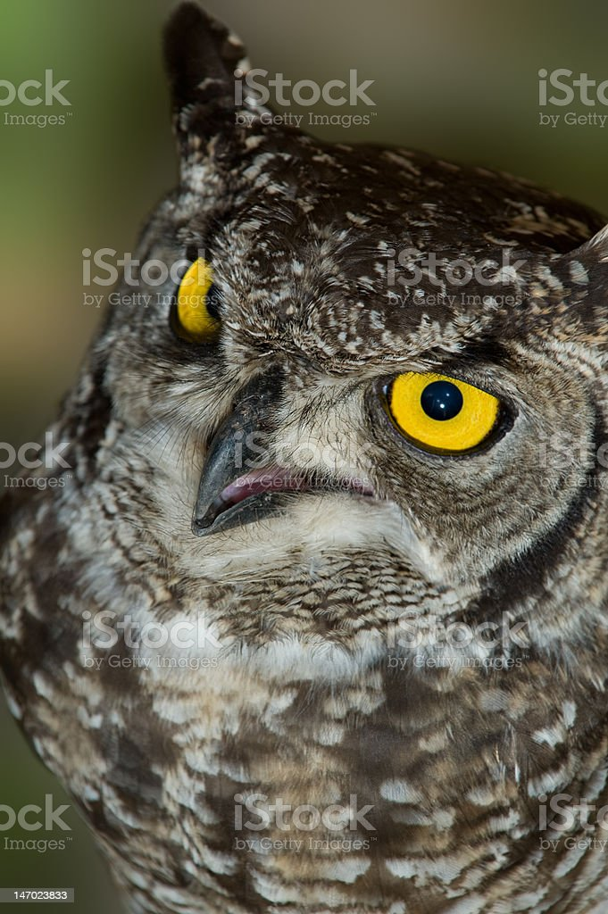 African Spotted Eagle Owl Close Up Macro Portrait stock photo