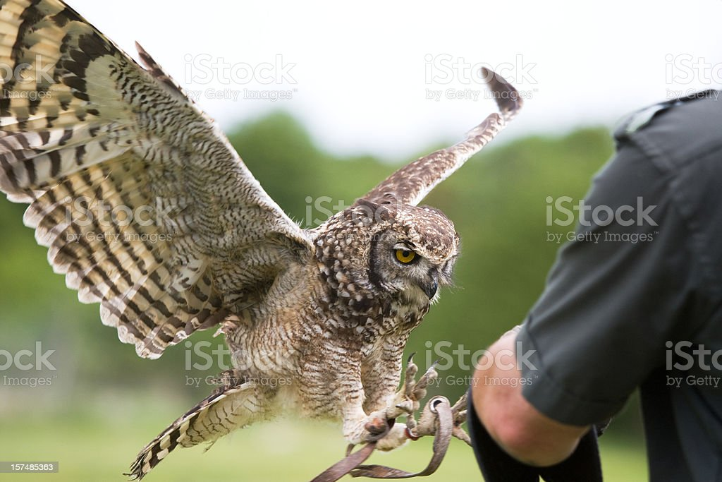 African Spotted Eagle Owl stock photo
