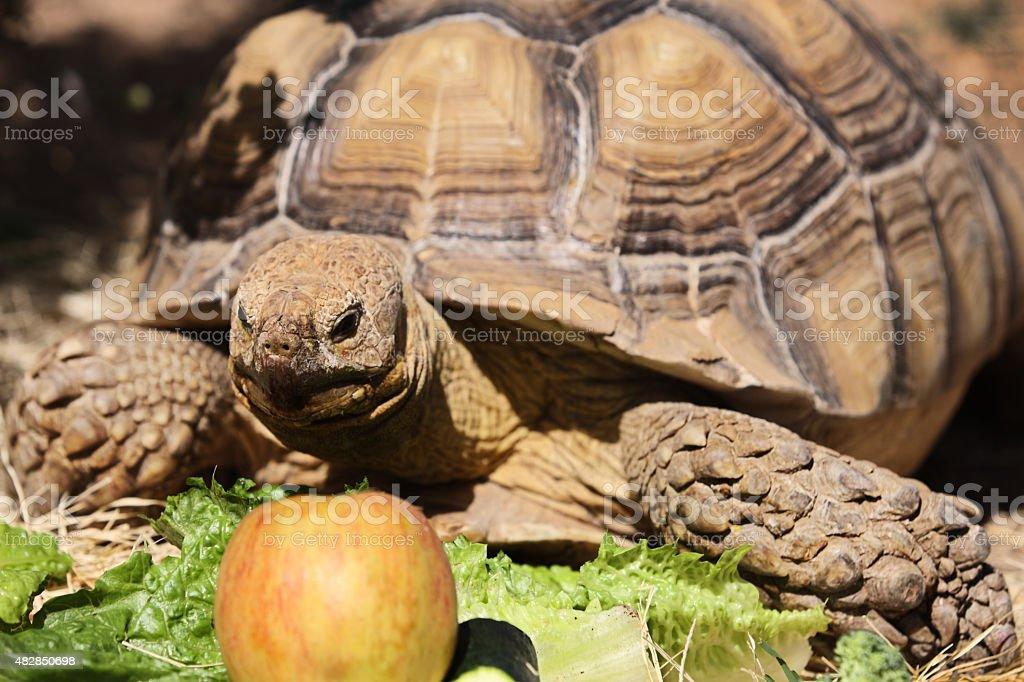 African Spurred Tortoise Centrochelys Sulcata stock photo