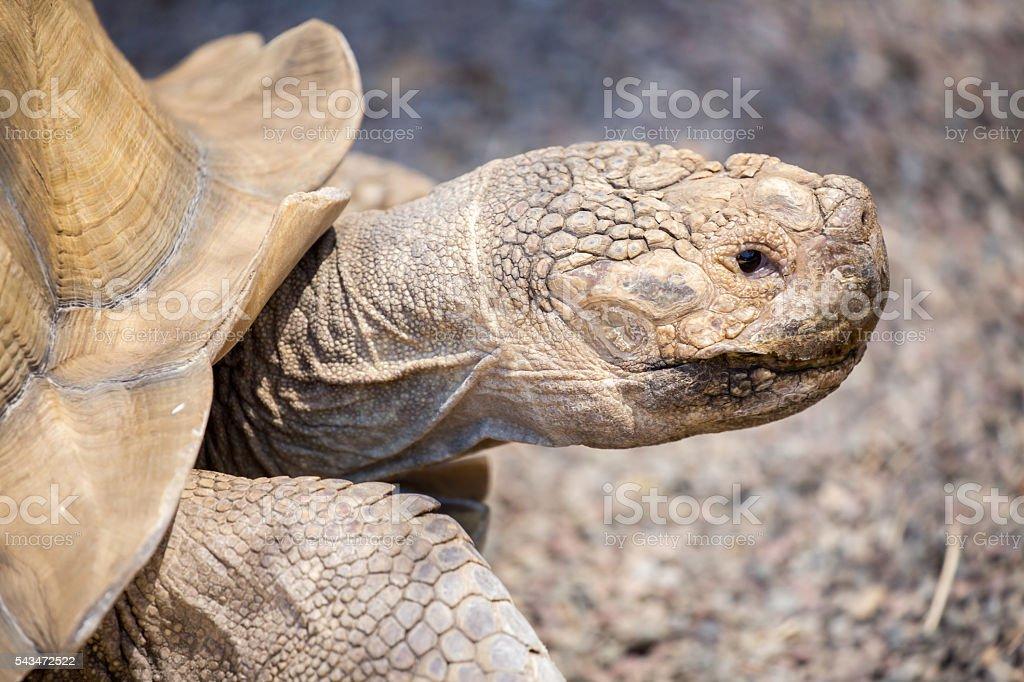African spurred tortoise - Centrochelys sulcata stock photo