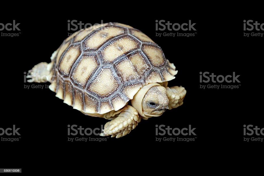 african spurred tortoise or geochelone sulcata stock photo