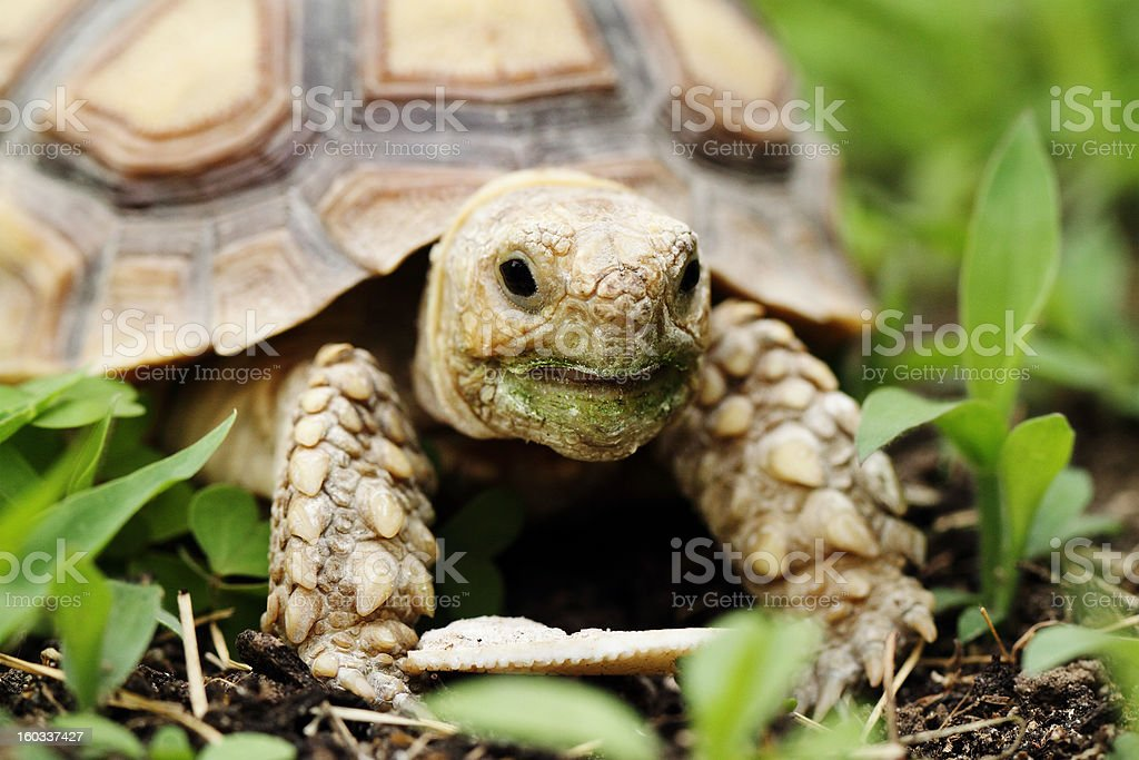 African Spurred Tortoise (Sulcata) royalty-free stock photo