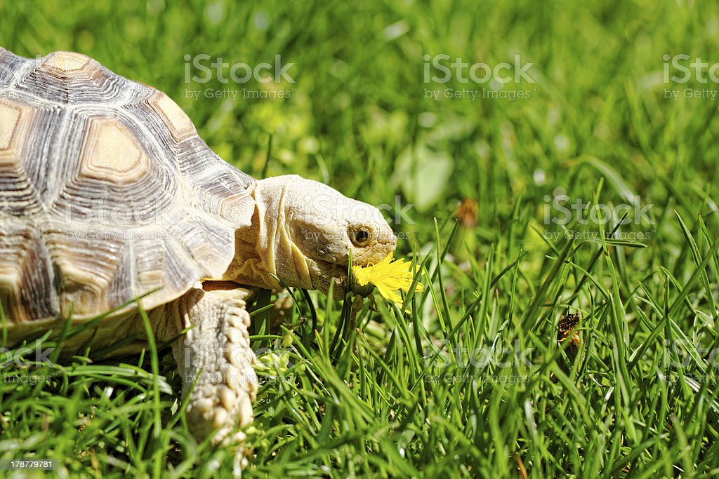African Spurred Tortoise royalty-free stock photo
