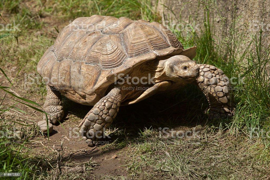 African spurred tortoise (Centrochelys sulcata) stock photo