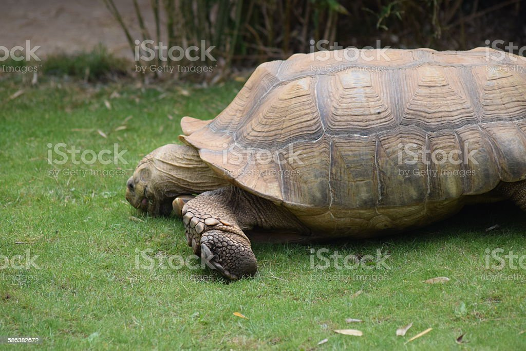 african spurred tortoise reptile outdoors animal