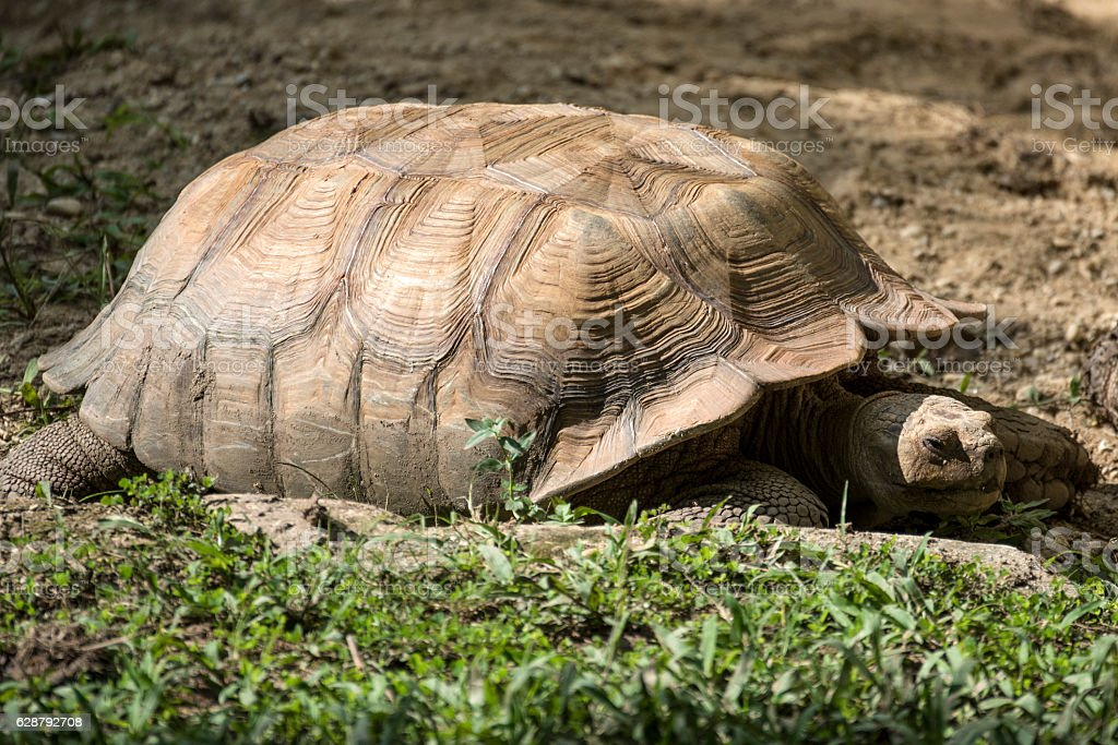 African spur-thighted tortoise stock photo