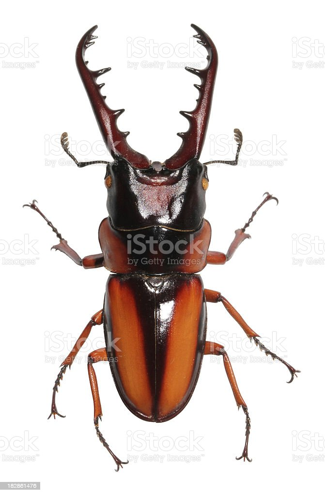 African stag beetle XL royalty-free stock photo