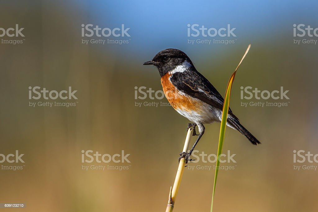 African stonechat in Kruger National park, South Africa stock photo