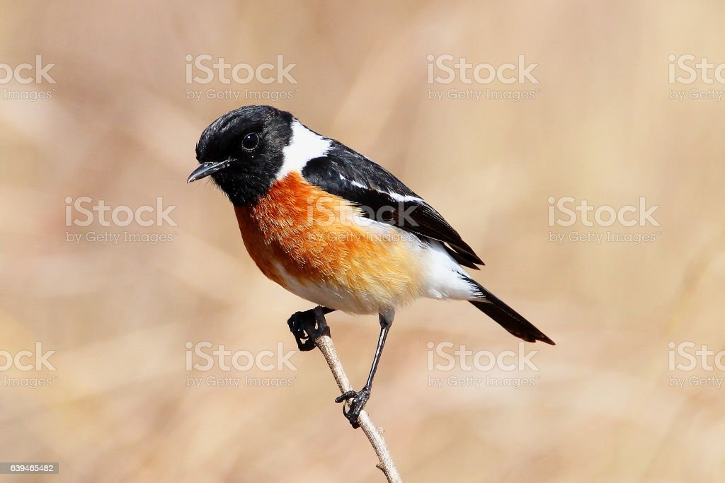 African Stonechat stock photo