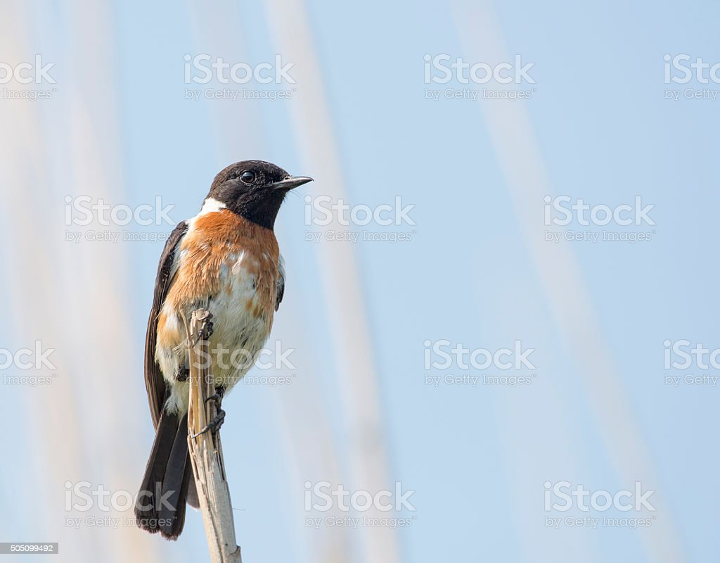 African Stonehat on dead twig stock photo