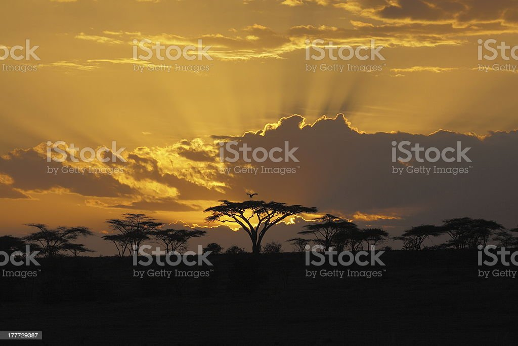 African sunset with bird perching-in royalty-free stock photo