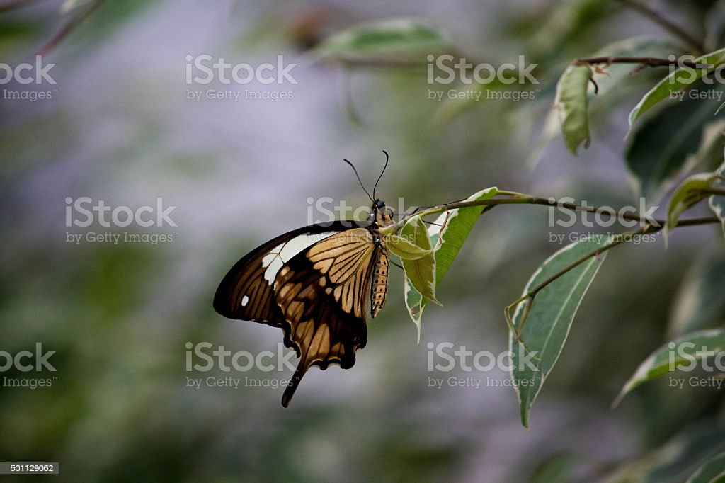 African Swallowtail butterfly perching on leaf stock photo