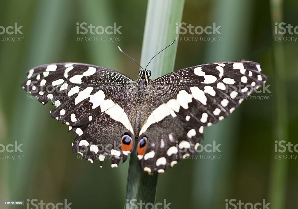 African swallowtail stock photo