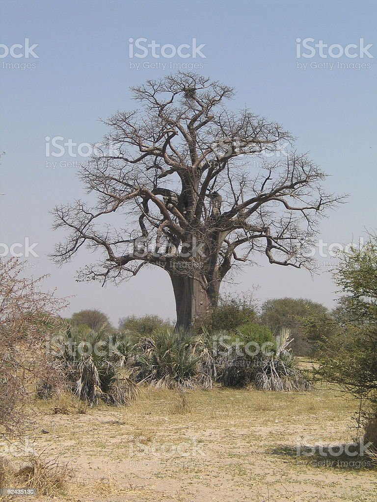 african tree royalty-free stock photo