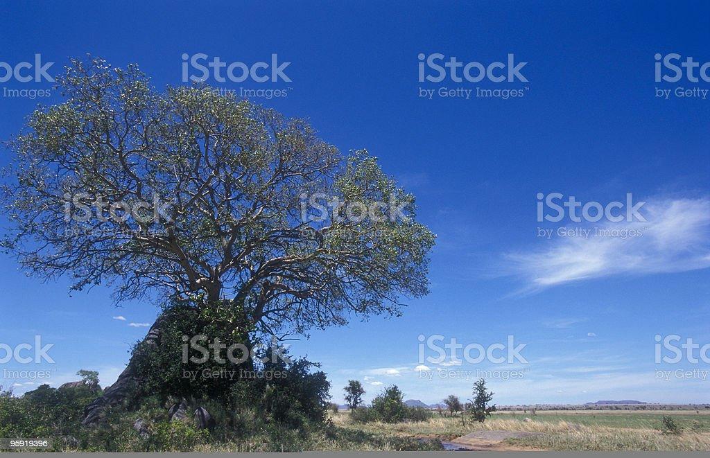 African Tree (1) stock photo
