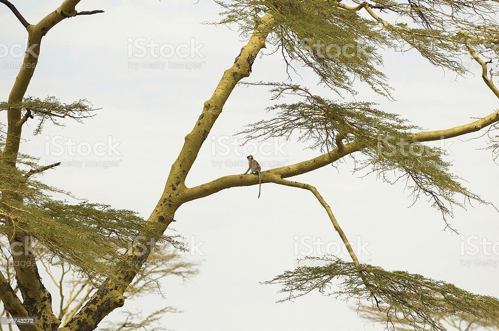 African Vervet Monkey royalty-free stock photo