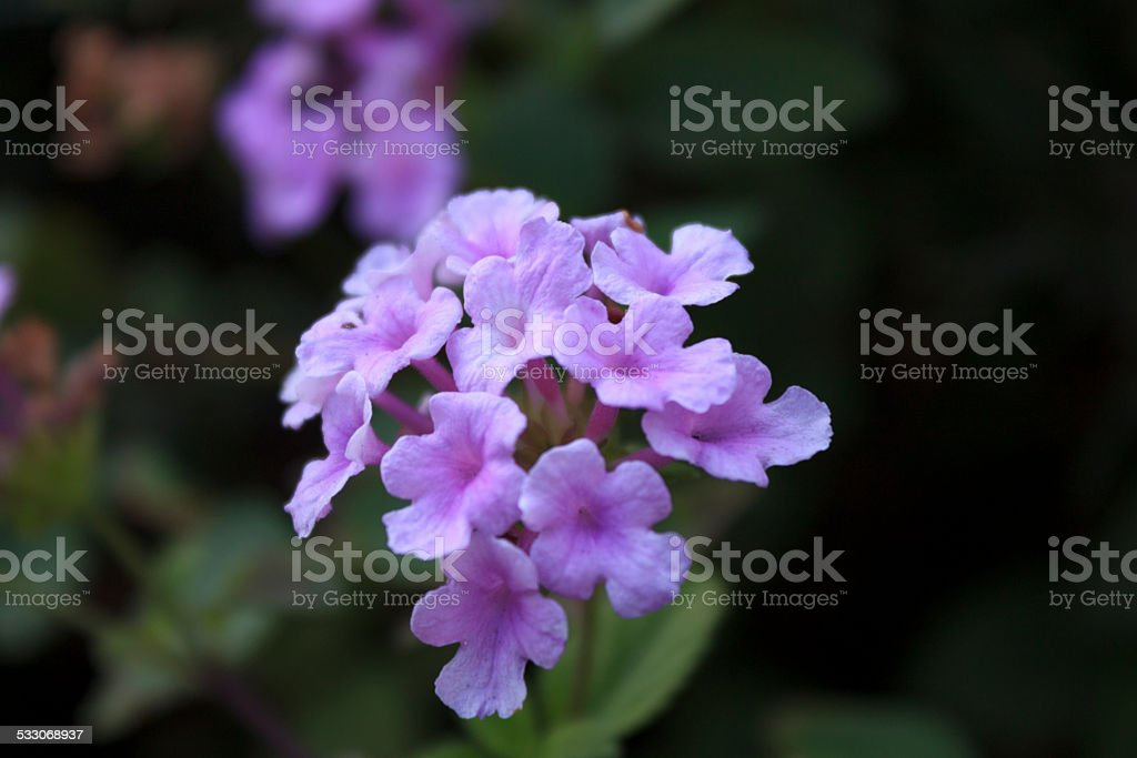 African Violet Cluster stock photo