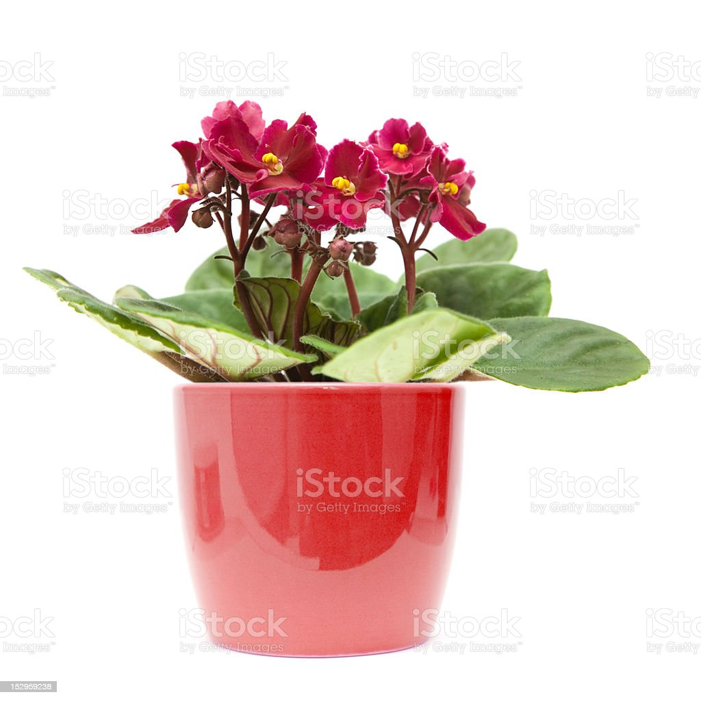african violet i royalty-free stock photo