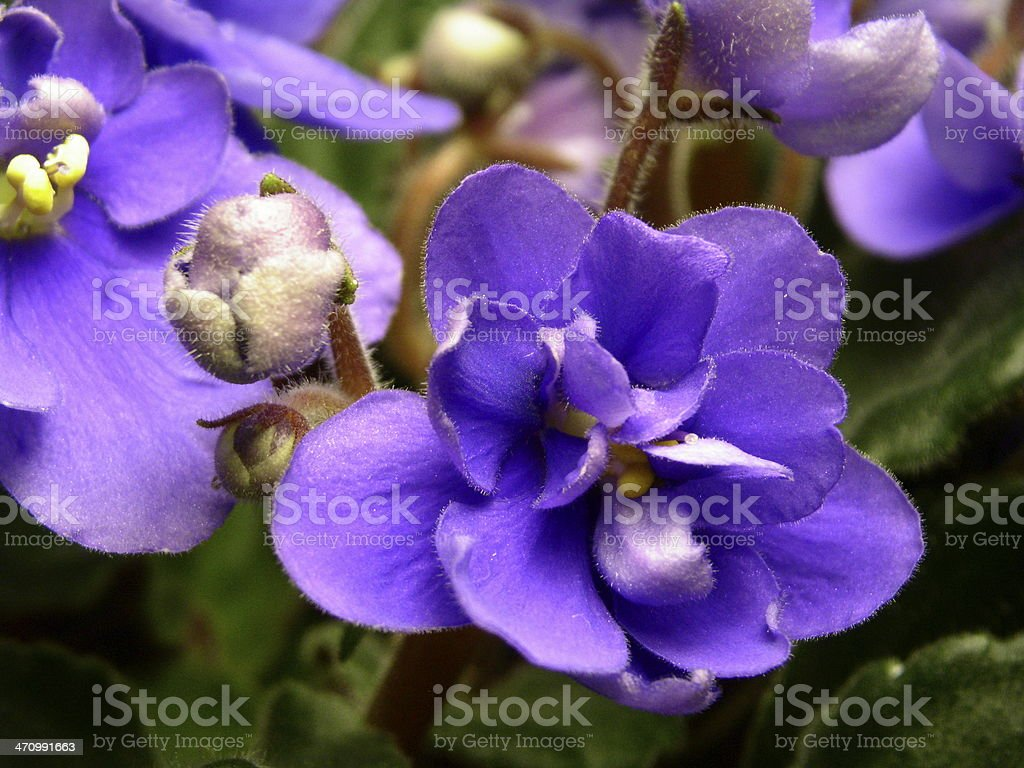 African Violet royalty-free stock photo