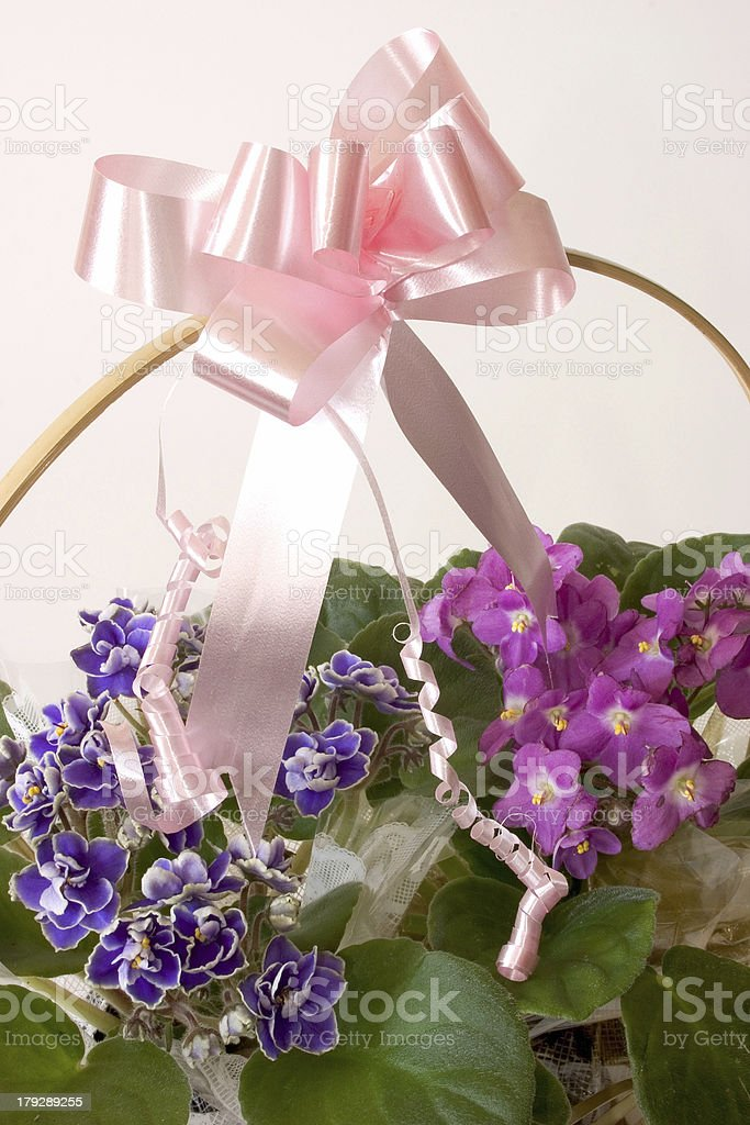 African Violets  - Basket gift stock photo