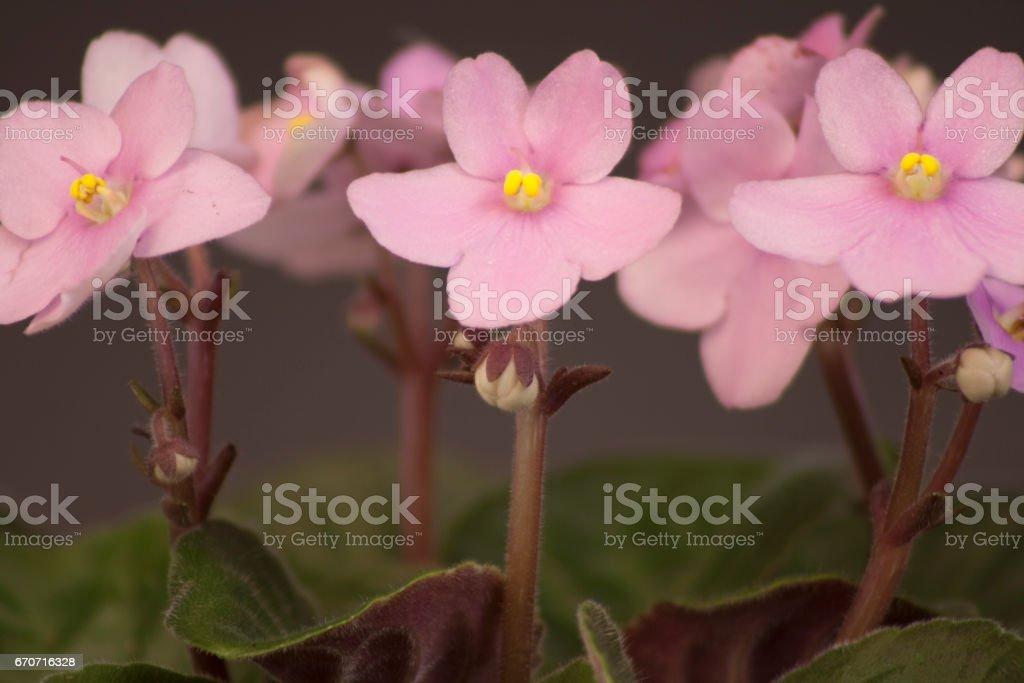 African violets (Saintpaulia ionantha) stock photo
