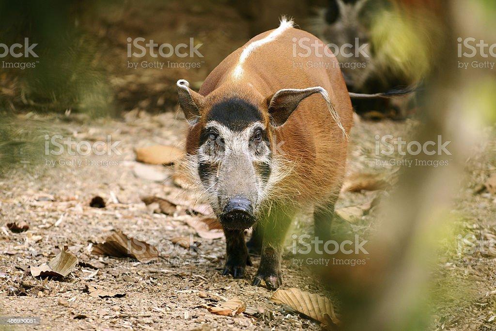 African Warthog royalty-free stock photo