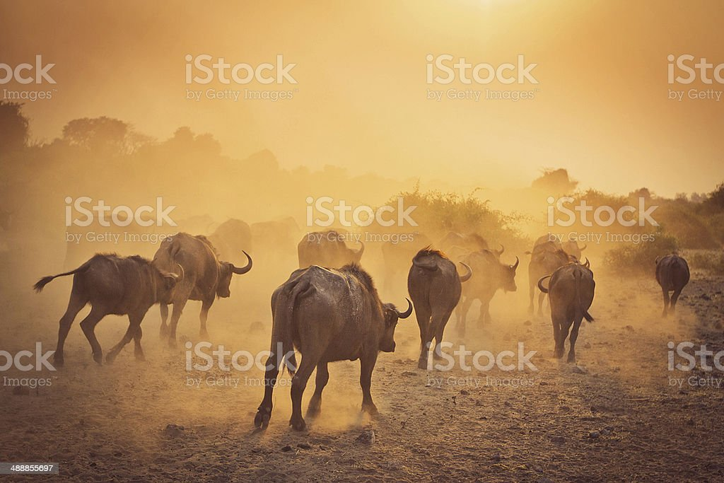 African Water Buffalo Stampede, Early Morning stock photo