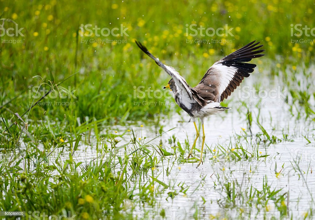 African Wattled Lapwing landing stock photo