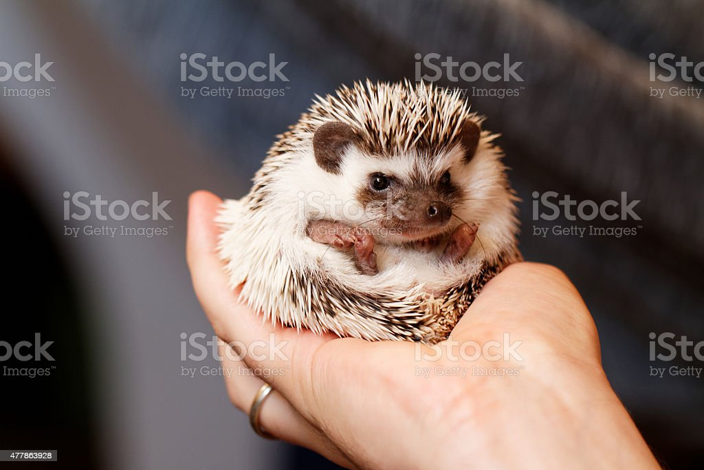 African white- bellied hedgehog stock photo